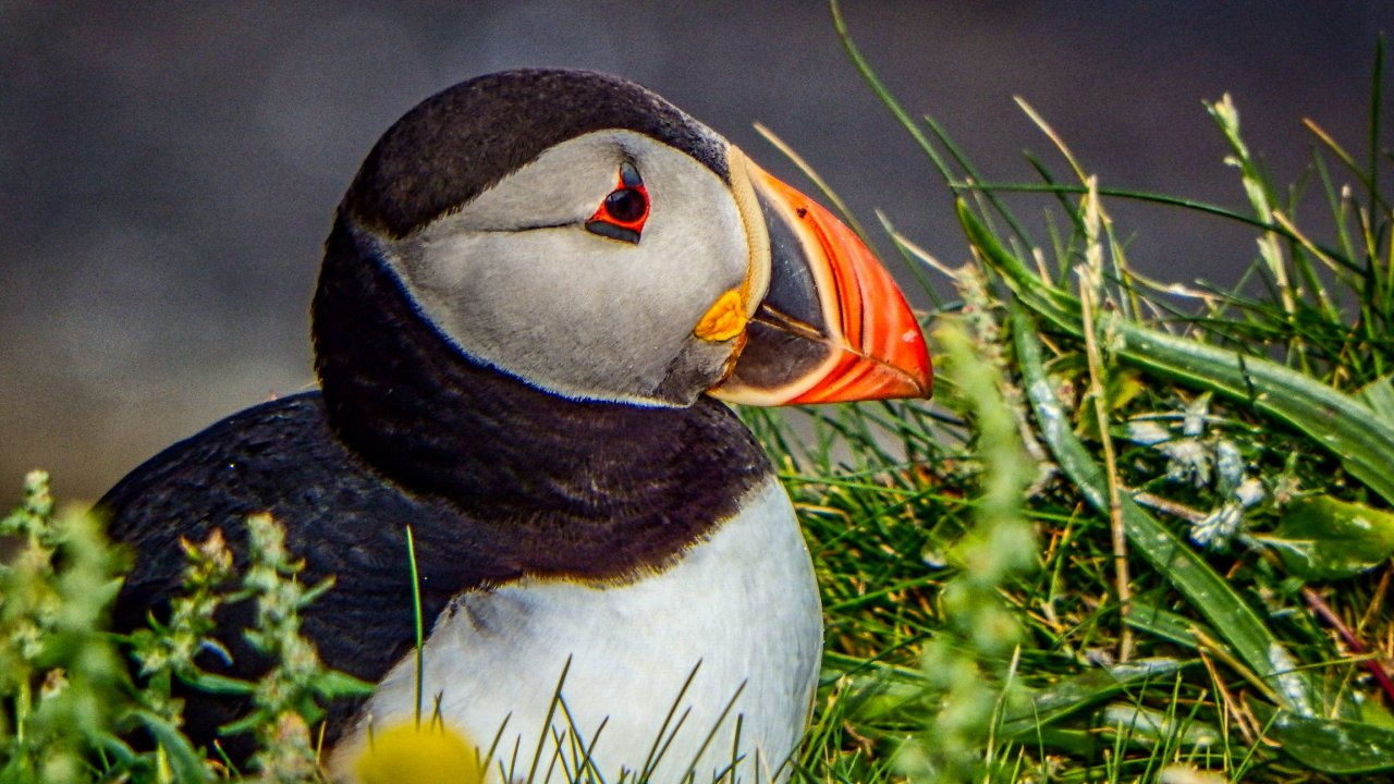 Puffin, Sumburgh Head